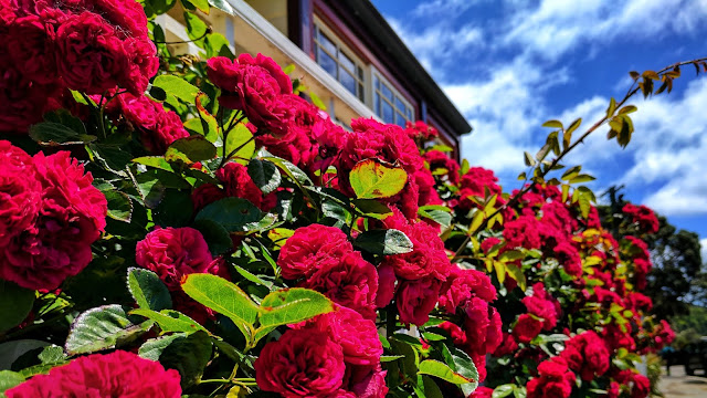 House roses of Karaka Bay (Wellington, NZ)