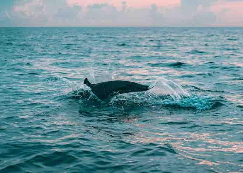 Cox's Bazar Dolphin