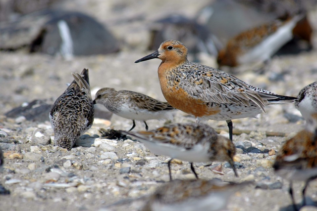 Red knots (Calidris canutus). Photo: U.S. Fish and Wildlife Service Northeast Region