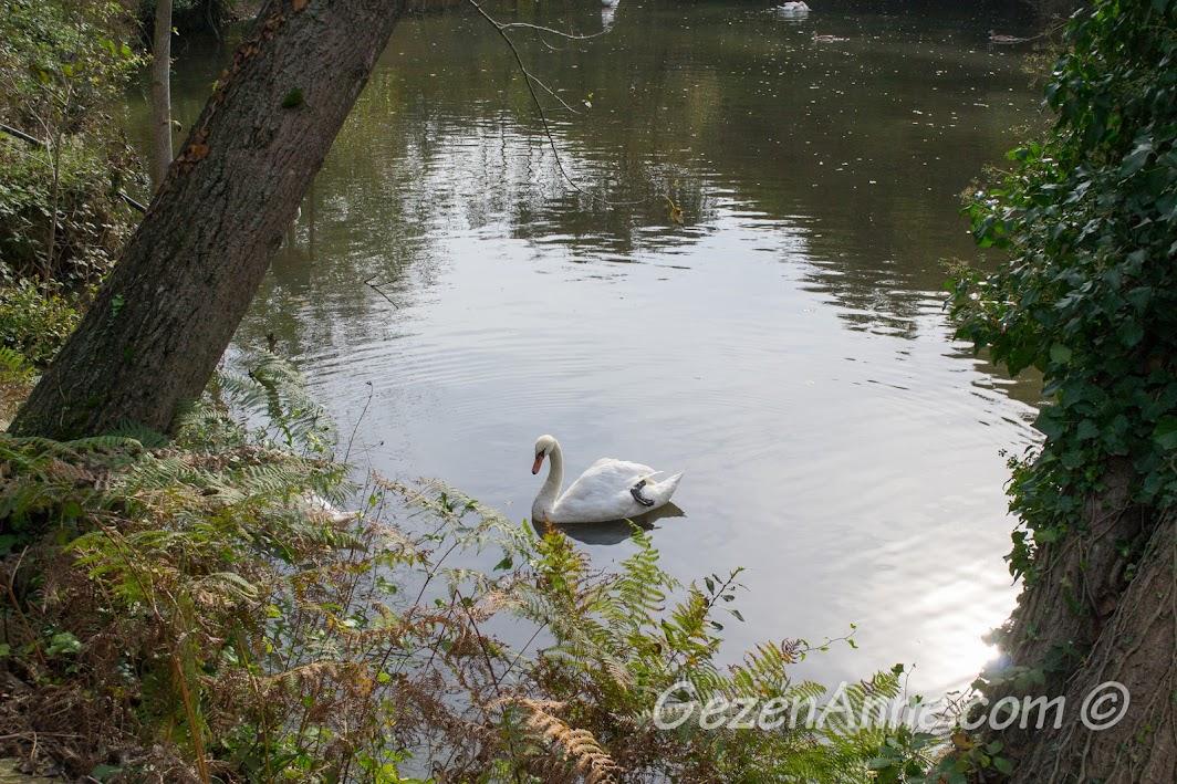 Piknik Park'taki gölette yüzen kuğu