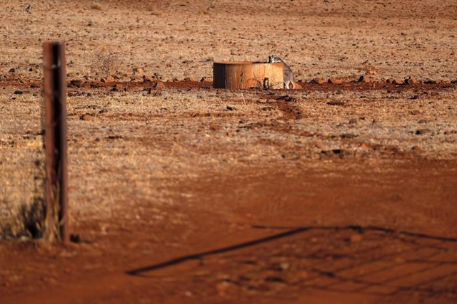 A kangaroo drinks from a water tank located in a drought-affected paddock on farmer Ash Whitney's property, located west of the town of Gunnedah in north-western New South Wales, in Australia, 3 June 2018. Photo: David Gray / REUTERS