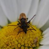 Couple de Cerambycidae. Les Hautes-Lisières (Rouvres, 28), 16 juin 2012. Photo : J.-M. Gayman