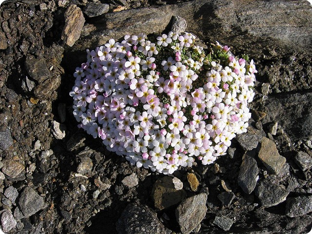 Flora-alpina-Androsace_alpina02