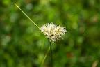 Tawny Cottongrass.
