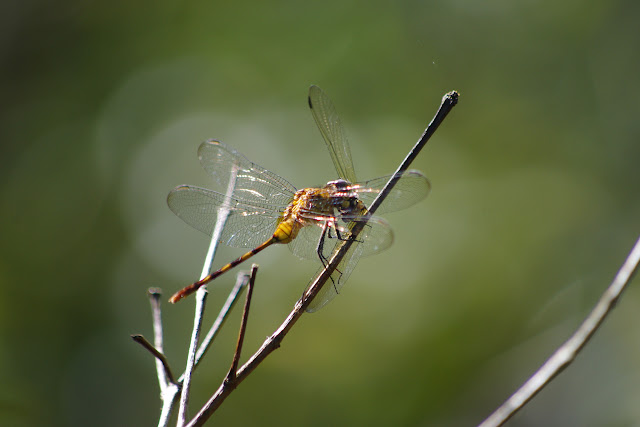 Brachymesia herbida (GUNDLACH, 1889) dévorant une autre libellule. Patawa (Montagne de Kaw), 23 octobre 2012. Photo : J.-M. Gayman