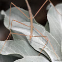 Short-horned Walkingstick