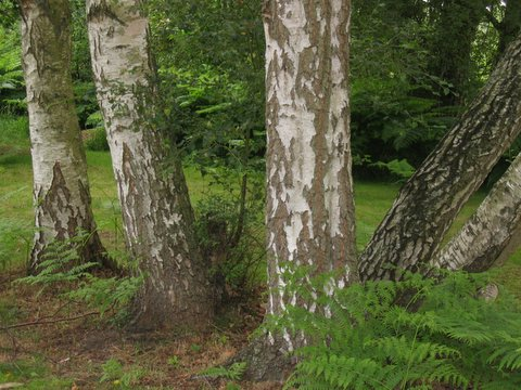 13 birches