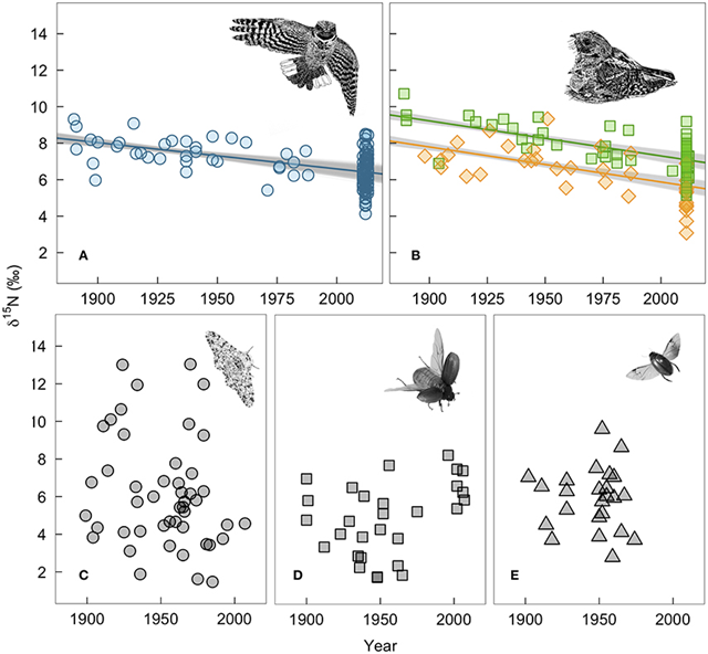 Measured changes in δ15N-values of bird and insect tissues over time: (A) winter-grown A. vociferus claws, (B) A. vociferus feathers grown by adults on the breeding grounds (squares) or juveniles still being feed by parents (diamonds), (C) Biston betularia, (D) Phyllophaga anxia, and (E) Colymbetes sculptilis. The lines show the mean predicted relationship from linear models controlling for δ13C based on all historic samples and 1,000 bootstrapped sub-samples of contemporary bird tissues. The gray shows the variation in predicted slopes. Bird illustrations are courtesy of Marinde Out. Graphic: English, et al., 2018 / Frontiers in Ecology and Evolution
