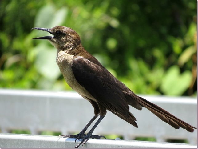 grackleIMG_0879