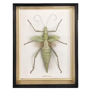 Framed Heteropteryx Dilatata Specimen