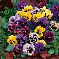 Hoa bướm Viola