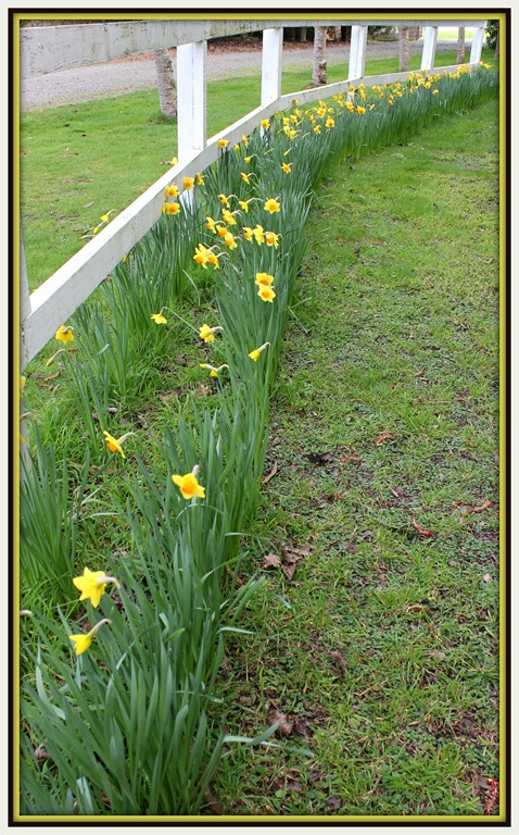 [Daffodils+on+the+fence-line%5B3%5D]