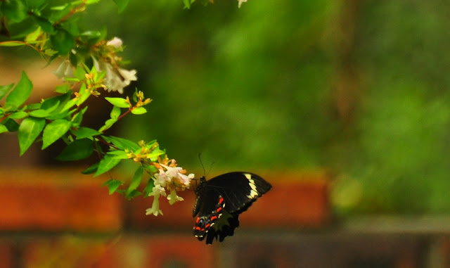 Papilio aegeus aegeus DONOVAN, 1805, mâle. Umina Beach, 28 décembre 2010. Photo : Barbara Kedzierski.