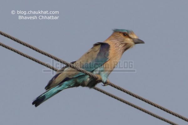 Indian Roller [Coracias Benghalensis] sitting on an electricity grid wire