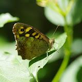Pararge aegeria (Linnaeus, 1758). Les Hautes-Lisières (Rouvres, 28), 7 juin 2015. Photo : J.-M. Gayman