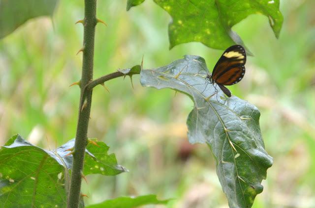 Ithomiinae : Ceratinia neso nisea (GODART, 1819). Crique Tortue, près de Saut Athanase (Guyane). 21 novembre 2011. Photo : M. Belloin
