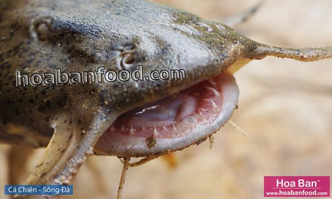 Cá Chiên - Sông Đà - Goonch Fish - 3