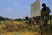 Musim Panen 2021 Dinas Pertanian Sulteng Targetkan Produksi Capai 1,190 Juta Ton