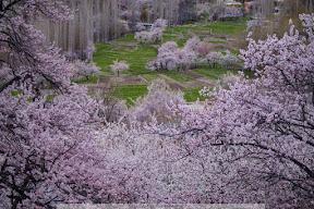 Blossom in Skardu.