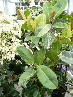 Figowiec sprężysty 'Variegata' Ficus elastica 'Variegata'