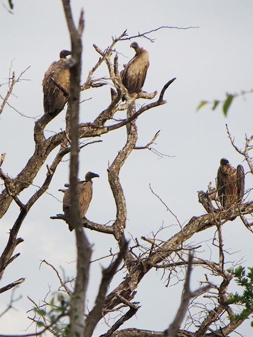 gieren in dode boom, Kruger Park - Zuid Afrika