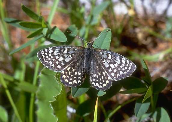 Melitaea latonigena altaica GRUM-GRSHIMAÏLO, 1893. Versant sud (2000 m) des Monts Yuzhno-Chuiskij, haute vallée de la Dzhazator, Kosh-Agach, 15 juillet 1998. Photo : O. Kosterin
