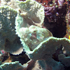 Scorpionfish (Bangka Island)
