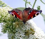 Dagpåfugleøje på hvid sommerfuglebusk.jpg