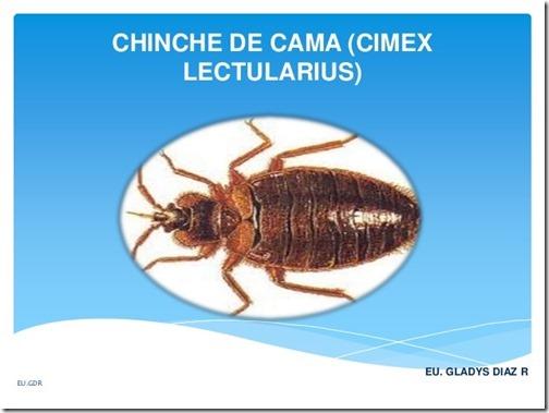 chinche-de-cama-cimex-lectularius-1-638