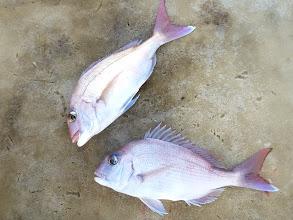 Photo: 真鯛のダブルで反撃開始!