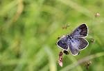 Sortplettet blåfugl, Maculinea arion f. obscura3.jpg
