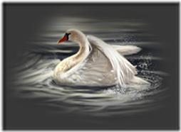 cisnes-buscoimagenes-22_thumb