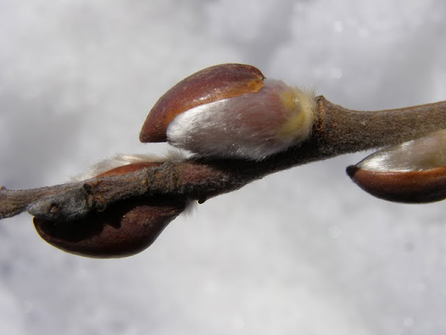Pussy Willow catkins poking through bud scales