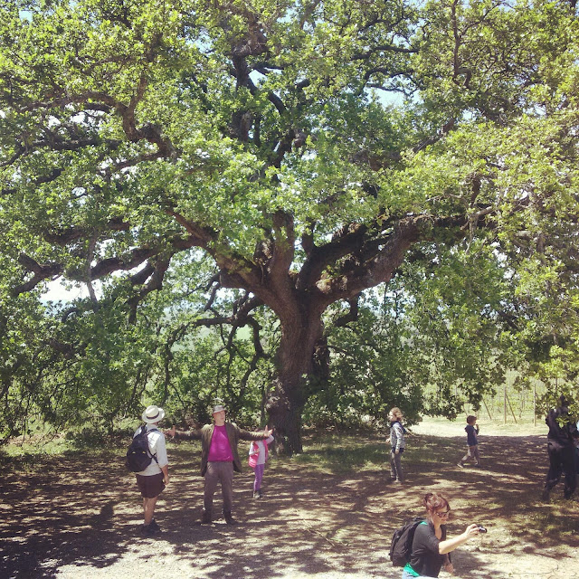 Wanderers having a hiking break under Montalcino's oldest oak tree
