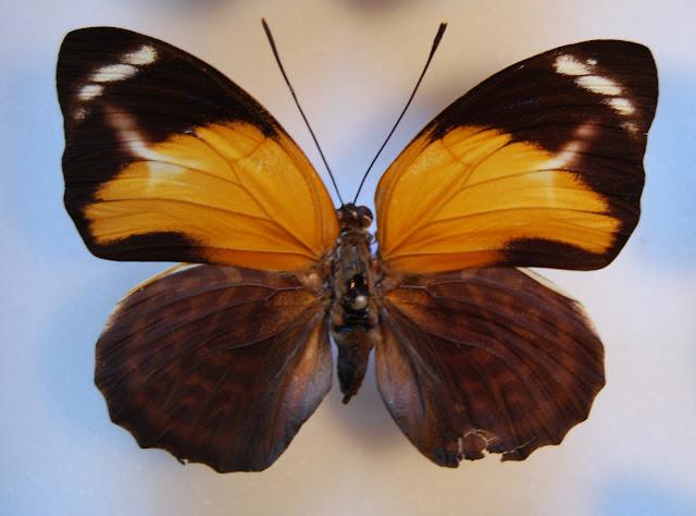 Agrias pericles mauensis FASSL, 1921, femelle, recto. Spécimen aberrant capturé en 1969 à Rio Maues (Brésil). Photo : O. Pequin