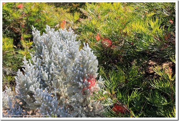 160813_UCSC_Arboretum_Maireana-sedifolia_005