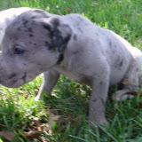 Merle @ 4 weeks