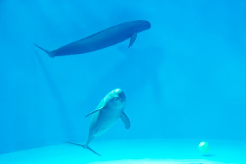Miyajima Public Aquarium finless porpoise1