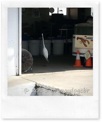 Egret at the shrimp dock5.