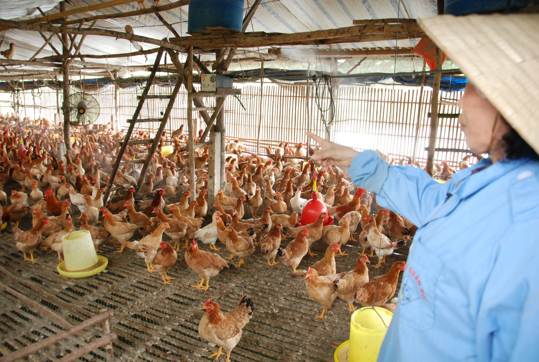 Những lưu ý trong chăn nuôi gà - 55b196c73644b