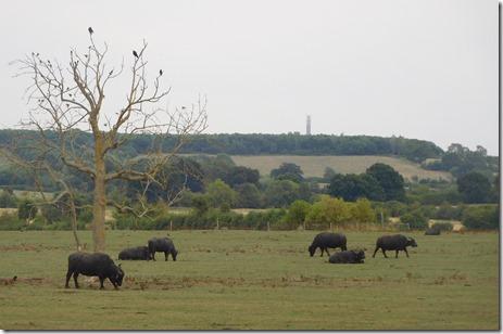 9 water buffalo