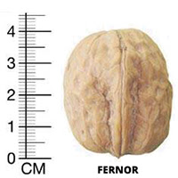 Фернор грецкий орех