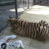 TIGERS Preservation Station - Myrtle Beach - 040510 - 09