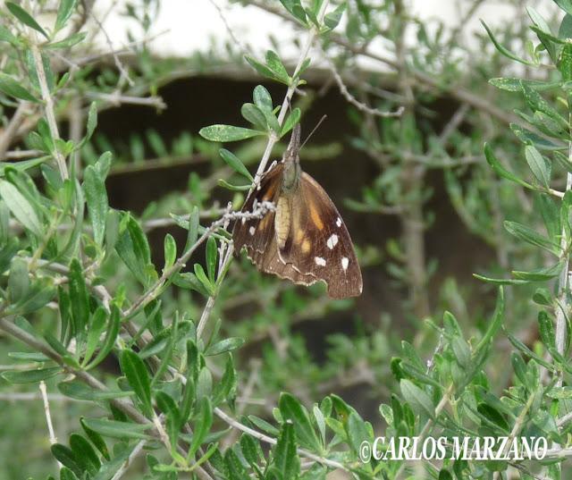 Libytheana carinenta CRAMER, 1777. Villa Amancay, Provincia de Cordoba, Abril 2010, Argentina. Photo : Carlos Marzano