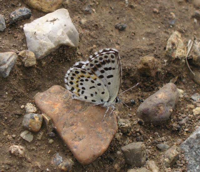 Scolitantides orion jezoensis (Matsumura, 1919). 5 km de Dal'negorsk vers Monomakhovo, 26 juillet 2010. Photo : J. Michel