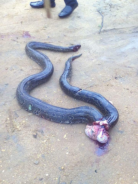 Big Python Trying To Swallow A Dog Killed