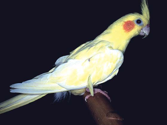 A lutino cockatiel four months after therapy for liver disease showing a return to white feathers