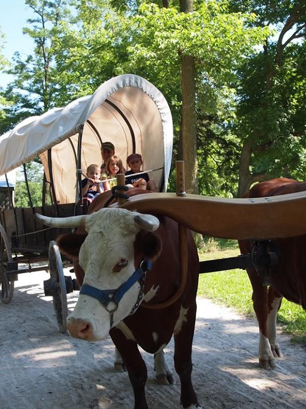 oxen ride
