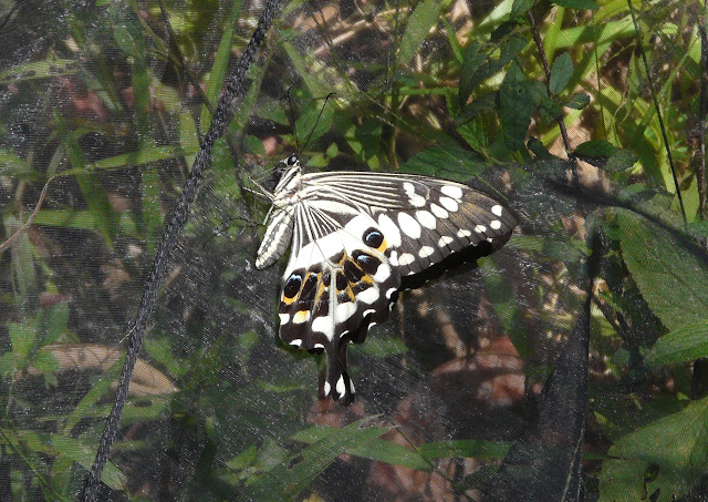 Papilio menestheus DRURY, 1773. Atewa Hills (Ghana), 27 décembre 2009. Photo : J. F. Christensen