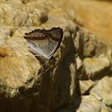 Mimathyma (Apatura) ambica miranda FRUHSTORFER, 1902. Cascade de Mandian (900 m), Xichuangbanna (Yunnan), 25 août 2010. Photo : J.-M. Gayman